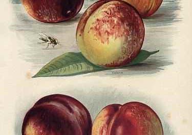 Nectarines  MILTON,GOLDONI,STANWICK ELRUGE,NEWTON
