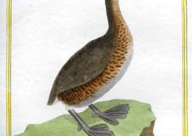 GREBE DE LA LOUISIANE