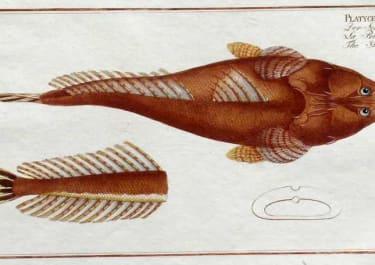 SHOVEL FISH PLATYCEPHHALUS SPATHULA