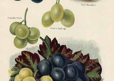 GRAPES MRS PINCE'S MUSCAT,ROYAL MUSCADINE,GROS MAROC...