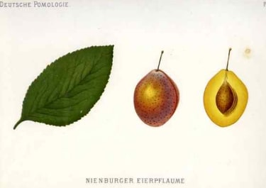 PLUM NEINBURGER EIERPFLAUME