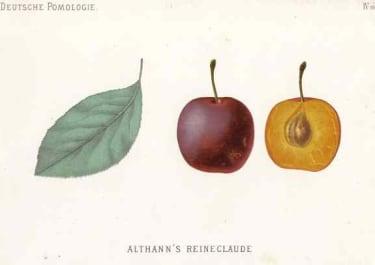 PLUM ALTHANN'S REINECLAUDE