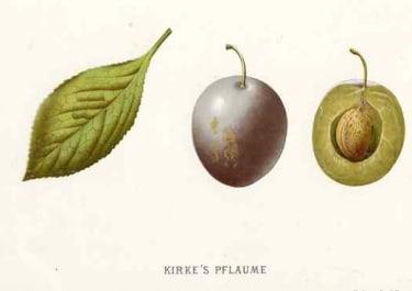 PLUM KIRKE'S PFLAUME