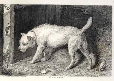 DOGS BRUTUS