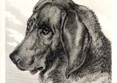 DOGS PROCYOR BLOODHOUND