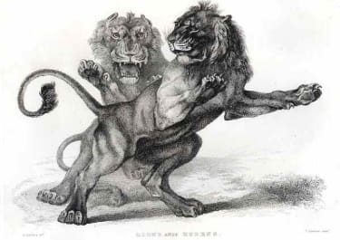 LIONS AFTER RUBENS