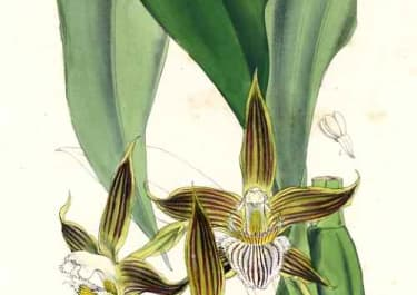 ORCHID BATEMANIA GRANDIFLORA