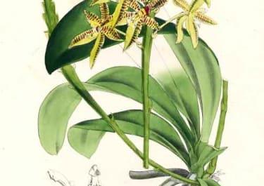 ORCHID PHALAENOPSIS CORNU-CERVI
