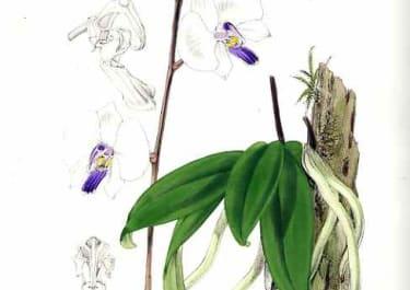ORCHID PHALAENOPSIS LOWII