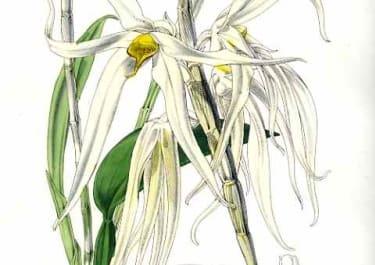ORCHID DENDROBIUM AMBOINENSE