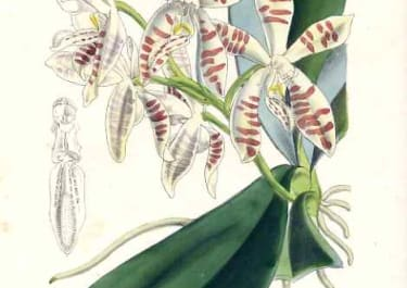 ORCHID PHALAENOPSIS SUMATRANA