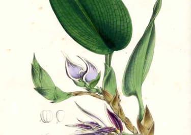 ORCHID BOLBOPHYLLUM RETICULATUM