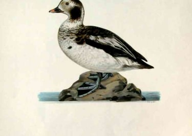 DUCKS 'OLD SQUAW'AMERICAN HARELDA HYEMALIS