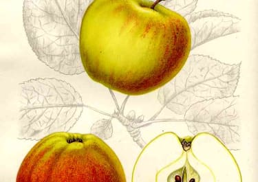 APPLES CELLINI