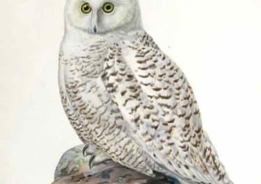 OWLS SNOWY OWL NYCTEA SCANDIACA