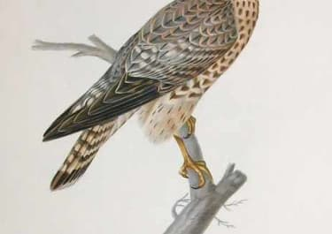 BIRDS OF PREY MERLIN FALCON FEMALE FALCO AESALON