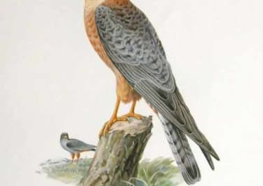 BIRDS OF PREY RED FOOTED FALCON FEMALE FALCO VESPERTINUS
