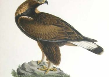 BIRDS OF PREY GOLDEN EAGLE AQUILA CHRYSAETUS