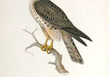 BIRDS OF PREY MERLIN FALCON JUVENILE FALCO AESALON