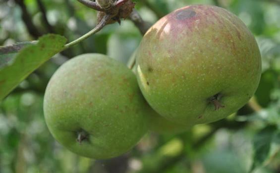 kota apel