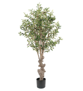 Oliventre, 160 cm