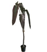 Alocasia 220 cm
