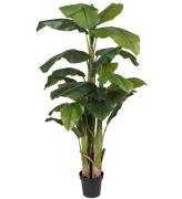 Bananplante 240 cm