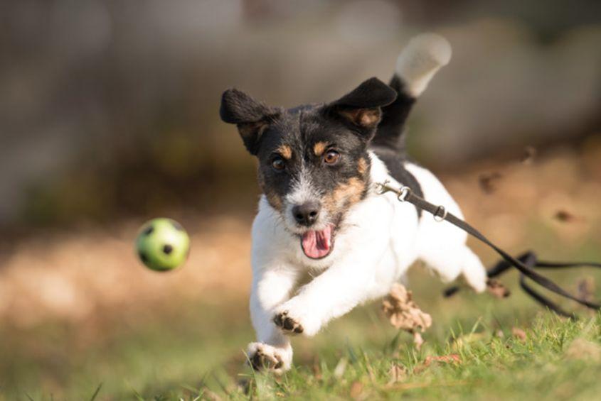 Hond rent achter bal aan