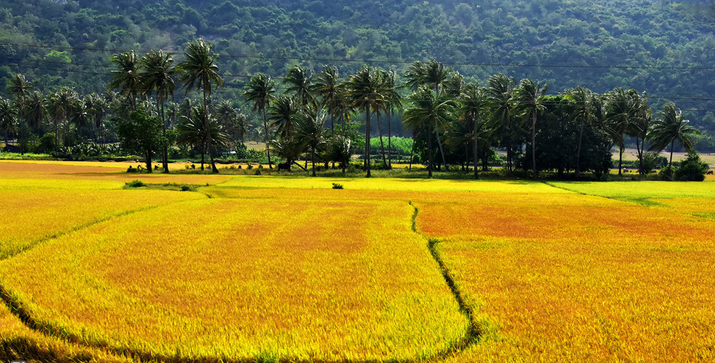 phu yen rice paddies with photo in vietnam