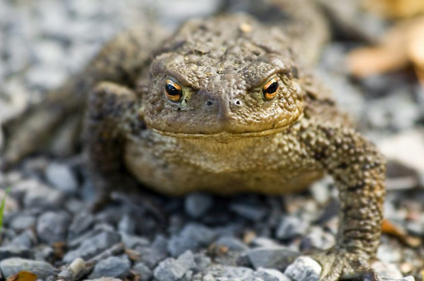 getty, golden toad