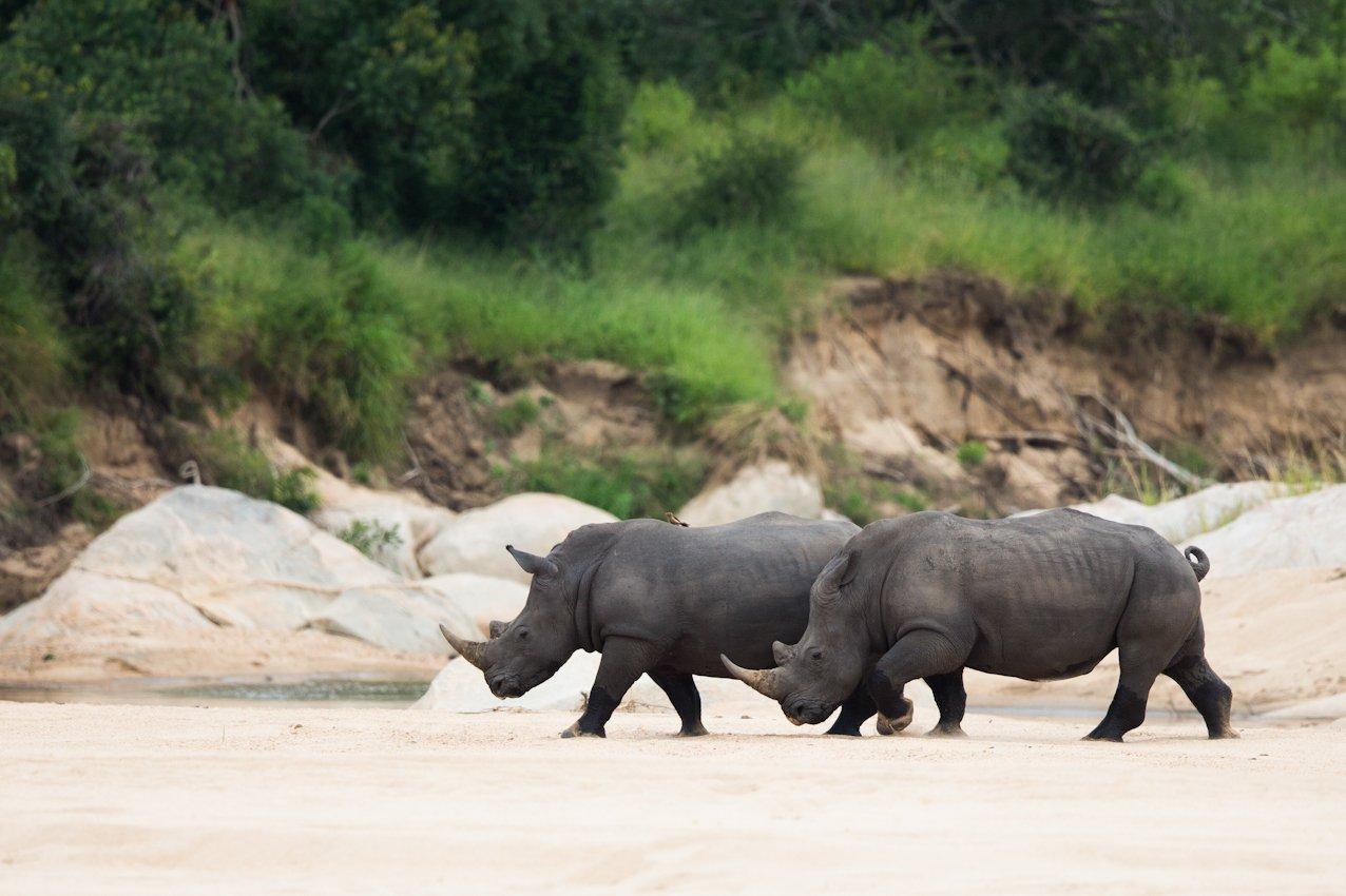 Rhinos at Ulusaba