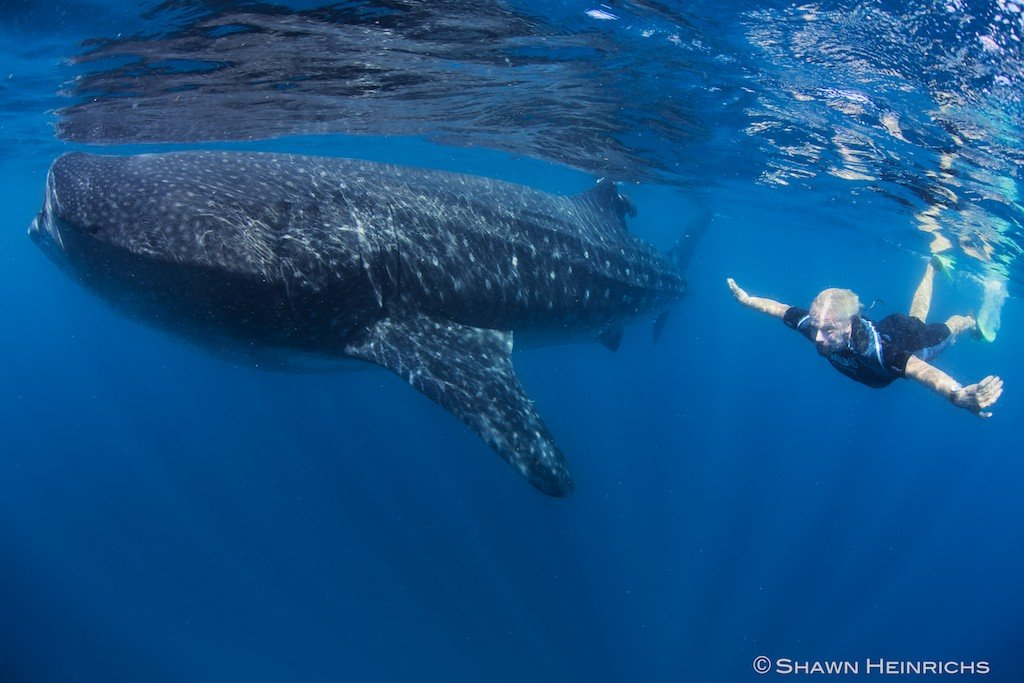Richard whale shark