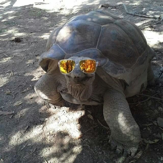 Giant Tortoises Breeding On Necker