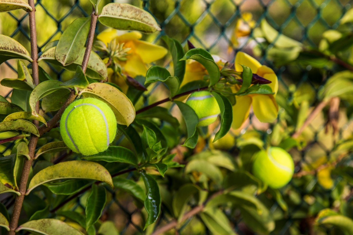 Tennis ball trees virgin tennis ball trees mightylinksfo