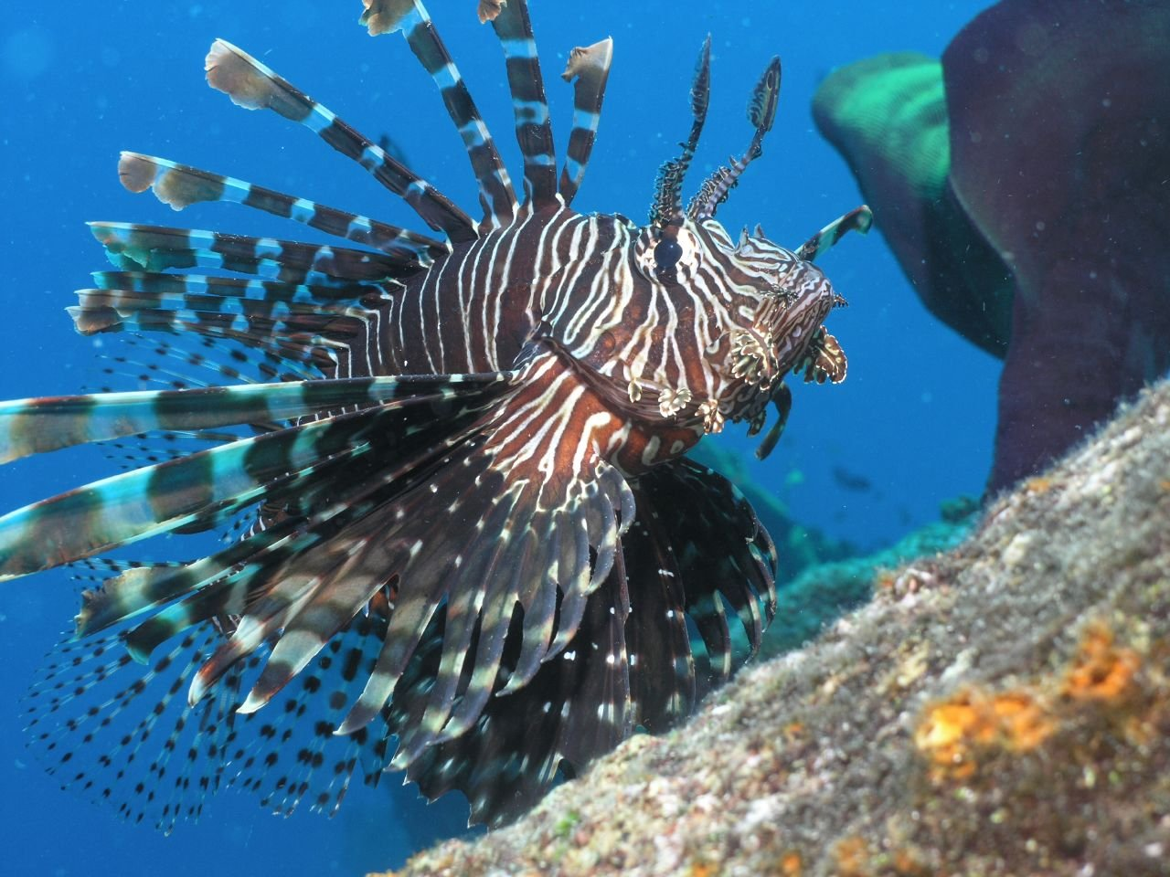 Ren Spearing A Red Lionfish In The Bahamas