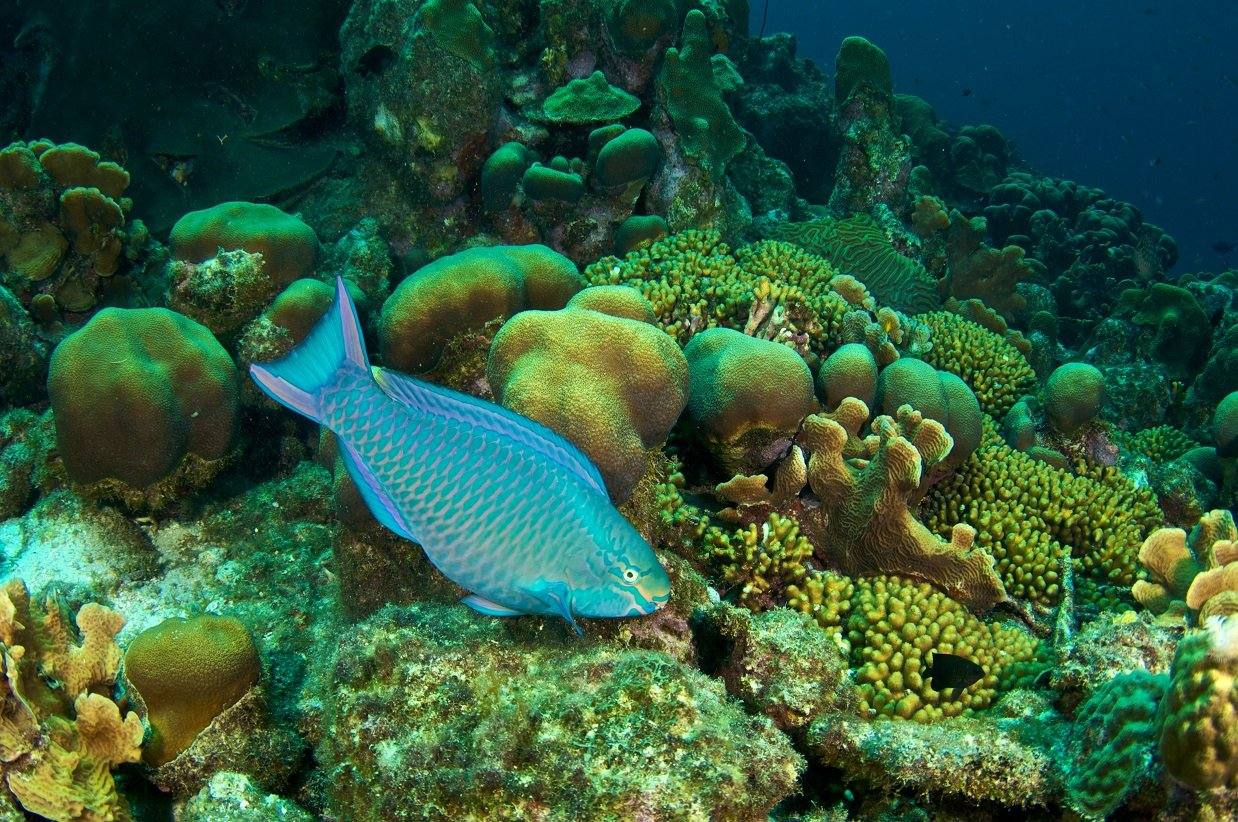 Parrotfish the fish that can save coral reefs virgin for Fish that eat other fish