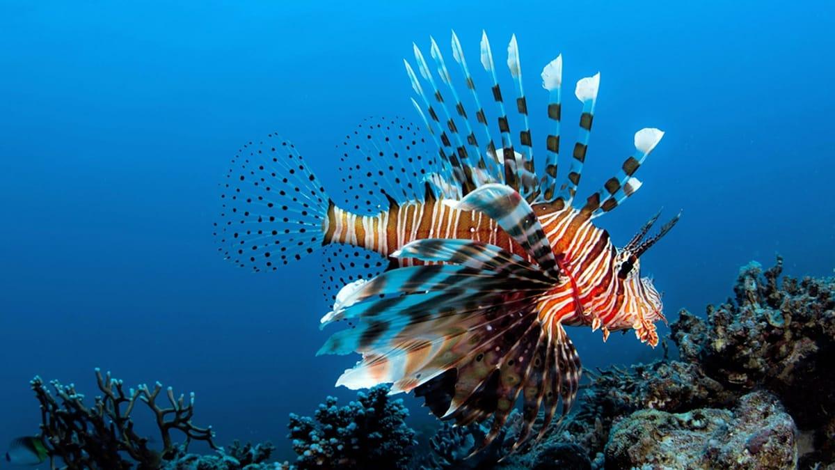 Image result for lionfish