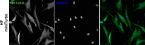 Image thumbnail for Anti–BirA [5B11c3-3]