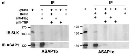 Image thumbnail for Anti-ASAP1 [7B12]