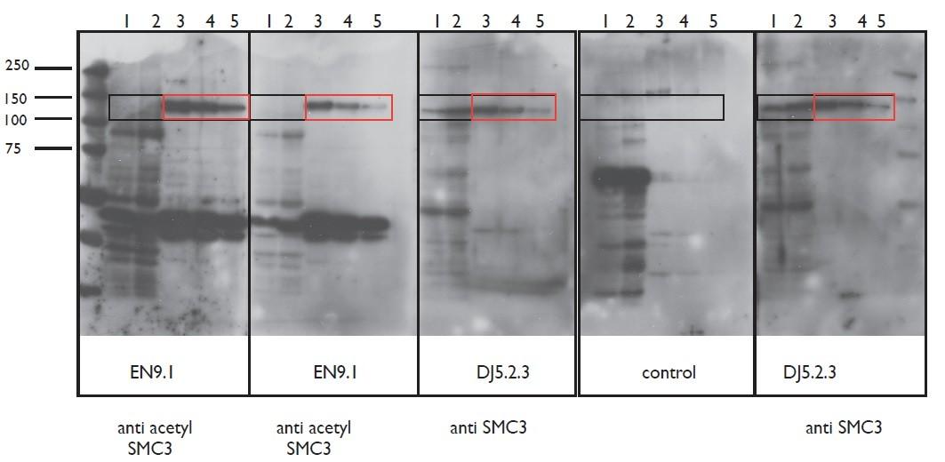 Image thumbnail for Anti-Acetyl SMC3 [EN9.1]