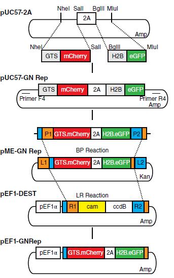 Image thumbnail for pEF1-GNrep vector