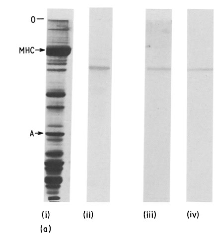 Image thumbnail for Anti-Fast Skeletal Muscle C-protein, Polyclonal [C-protein]