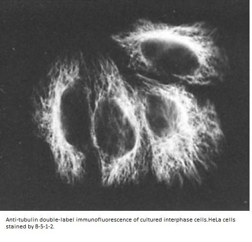 Image thumbnail for Anti-Alpha Tubulin [B-5-1-2]