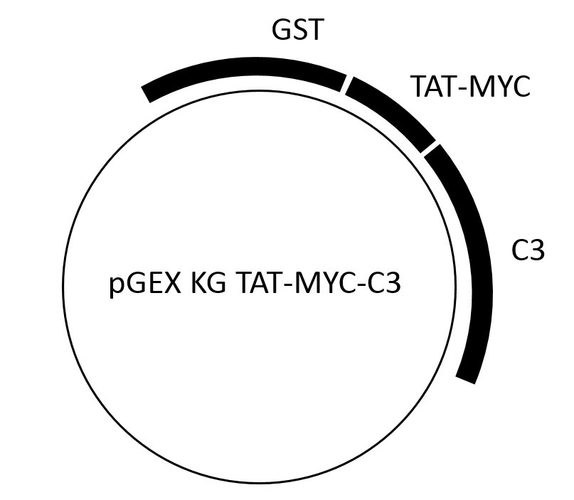 Image thumbnail for TAT-C3 exoenzyme Vector