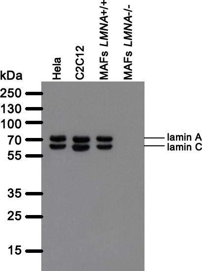 Image thumbnail for Anti-Lamin A+C [LASS2D9]
