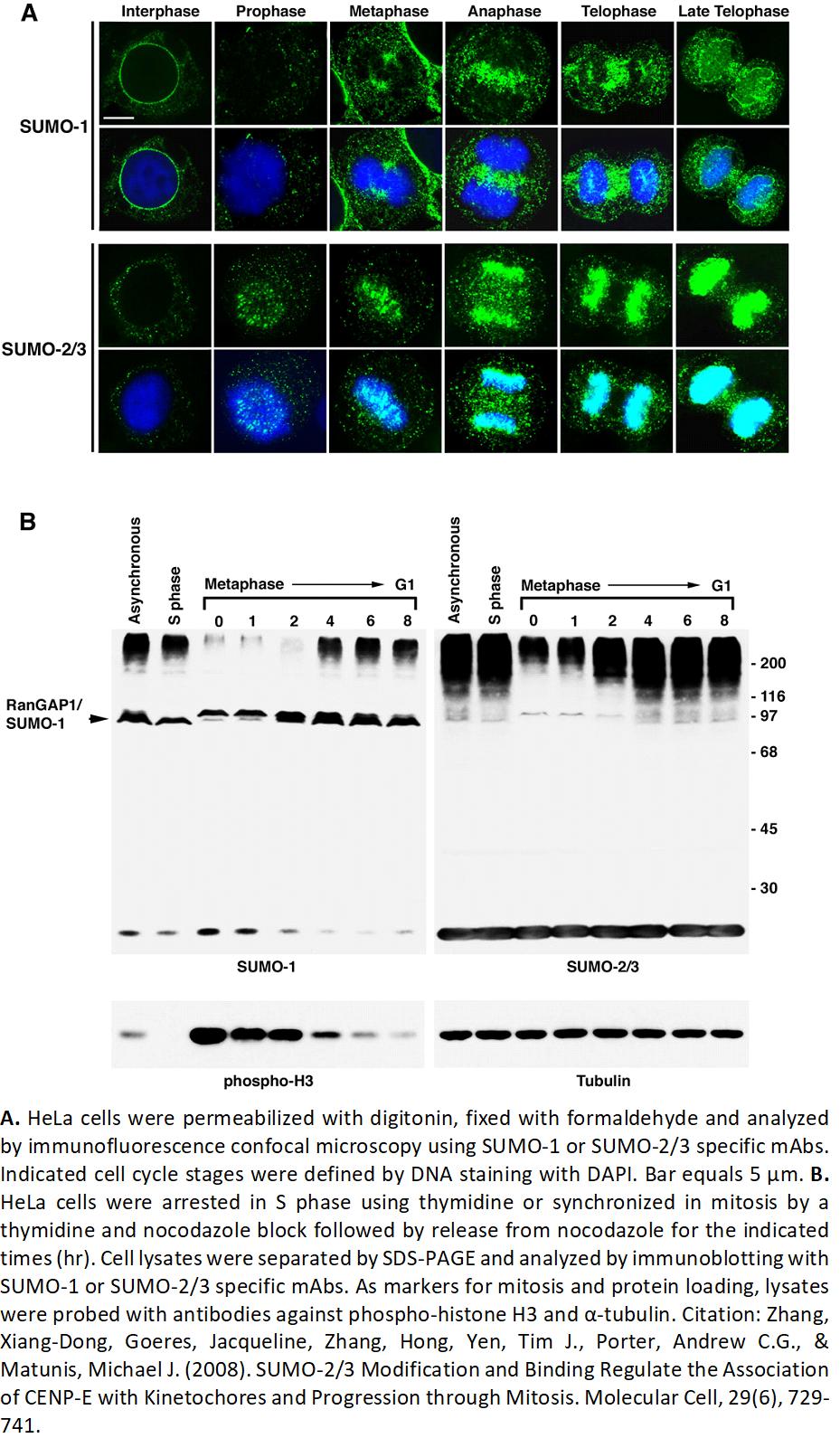 Image thumbnail for Anti-SUMO-2/SUMO-3 (8A2) antibody
