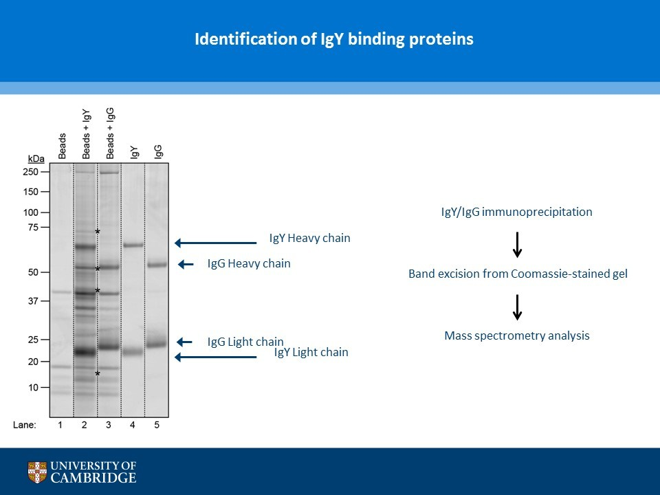 Image thumbnail for Chicken IgY precipitating protein Vector