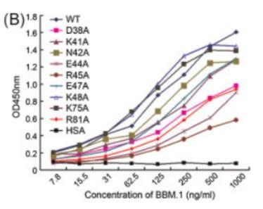 Image thumbnail for Anti-Microglobulin ß2 [BBM.1]