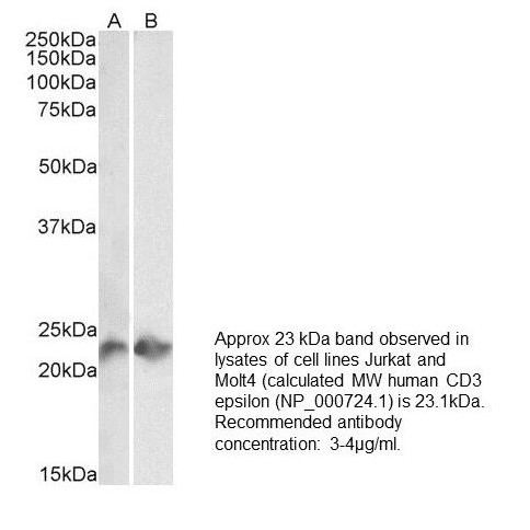 Image thumbnail for Anti-CD3, Recombinant [UCH-T1<sup>®</sup>]