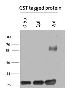 Image thumbnail for Anti-GST scFv recombinant antibody (HRP)